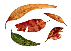 Jan- Assorted Eucalyptus leaves